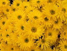 Free Raindrops On Yellow Chrysanthemum Stock Photography - 9779482