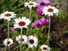 Free Daisy Flowers Royalty Free Stock Image - 97736066