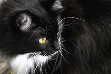 Siberian Cat At The Farmland Stock Photo