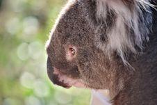 Free Sad Koala Bear Stock Photo - 9780410