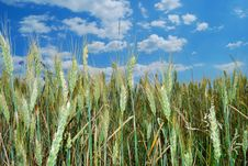 Free Wheat Field Royalty Free Stock Images - 9780999
