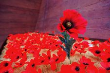 Free Outstanding Red Flower Stock Images - 9782154