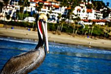 Pelican Fishing Stock Photography
