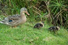 Free Ducks Family Royalty Free Stock Photos - 9782938