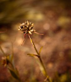 Free Dried Lychnis Stock Image - 9783761