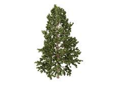 Free Cork_pine_(Pinus_strobus) Stock Images - 9784494