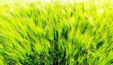 Free Wheat Field Royalty Free Stock Photography - 9785477