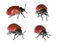 Free Red Poplar Leaf Beetle. Stock Photos - 9785513