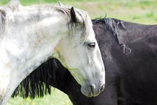 Free Black And White Horse Stock Photography - 9787912