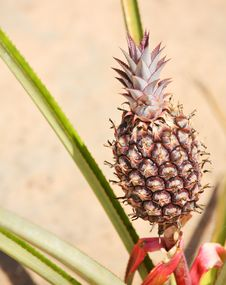 Pineapple On The Plant Royalty Free Stock Photography
