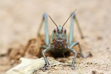 Free Grasshopper Royalty Free Stock Photography - 9788907