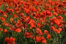Free Poppy Field Stock Photos - 9789363