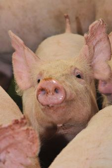 Free Pigs Stock Images - 9789624