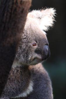 Free Koala Stock Photography - 9789842