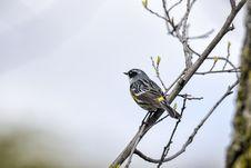 Free Oiseau &x28;Paruline À Croupion Jaune&x29; 093 Stock Images - 97837814
