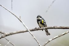 Free Oiseau &x28;Paruline À Croupion Jaune&x29; 110 Royalty Free Stock Photos - 97837828