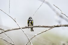 Free Oiseau &x28;Paruline À Croupion Jaune&x29; 108 Stock Image - 97837831