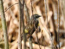 Free Oiseau &x28;Paruline À Croupion Jaune&x29; 077 Royalty Free Stock Image - 97837856