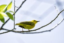 Free Oiseau &x28;Paruline Jaune&x29; 107 Royalty Free Stock Photos - 97837858