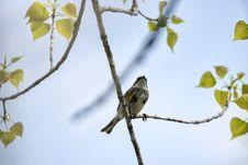 Free Oiseau &x28;Paruline À Croupion Jaune&x29; 136 Royalty Free Stock Image - 97837866