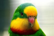 Free The Superb Parrot Royalty Free Stock Images - 97837939