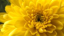 Free Yellow Chrysanthemum Stock Photography - 97838072