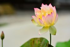 Free Water Lily Pink Royalty Free Stock Images - 97838379