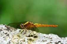 Free Dragon Fly Macro Royalty Free Stock Images - 97838489