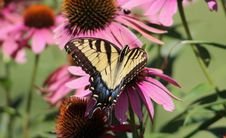 Free Eastern Tiger Swallowtail Stock Images - 97838684