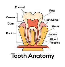 Free Tooth Anatomy Royalty Free Stock Photography - 97871717