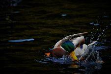 Free Duck Male Splashing Stock Photography - 97871792