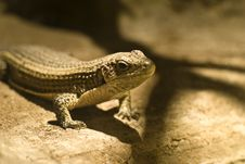 Free Lizards Royalty Free Stock Images - 9791699