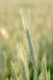 Free Wheat Ears At Sunrise In Spring Stock Photography - 9792542