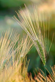 Free Wheat Ears At Sprinmg Sunrise Stock Photos - 9792563