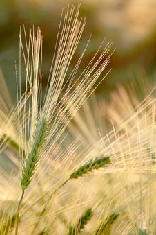 Free Wheat Ears At Sprinmg Sunrise Stock Images - 9792624