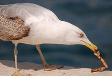 Free Seagull Stock Photo - 9794000