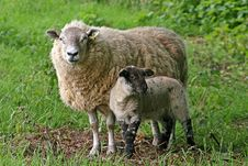 Free Sheep Stock Photos - 9794533
