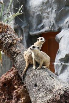 Meerkats On Tree Stock Images