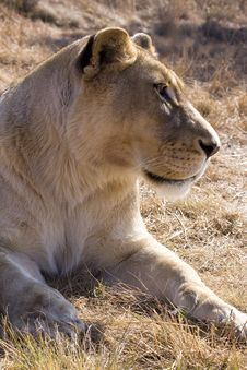Free Portrait Of A Lioness Royalty Free Stock Images - 9797049
