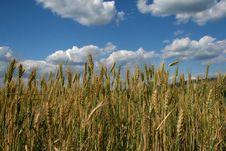 Free Wheat Field Royalty Free Stock Photo - 9797095