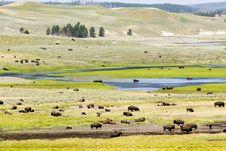 Free Buffalo Herd In Hayden Valley Stock Photos - 9799283