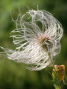 Free Dandelion Royalty Free Stock Images - 981929
