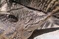 Free Nile Crocodile Royalty Free Stock Photography - 982587