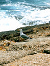 Free Seagull Posing Royalty Free Stock Photography - 987327