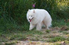Samoed S Dog Royalty Free Stock Image
