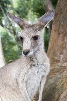 Young Kangaroo Upclose Stock Photo