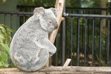 Free Koala Bear Side View Royalty Free Stock Photo - 980885