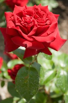 Free Single Red Rose Royalty Free Stock Image - 981566