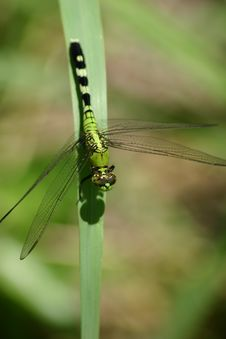 Free Dragonfly Royalty Free Stock Photography - 981817