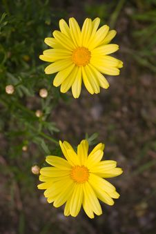 Free Two Yellow Flowers Royalty Free Stock Images - 981829